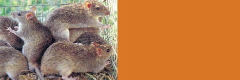 many_rats_bali